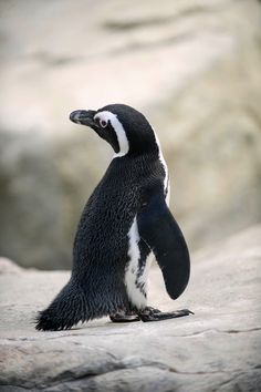 African #penguins are believed to be one of the 1st penguin species to be discovered by humans.