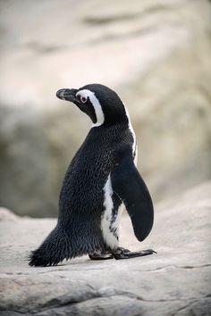 Star awards penguin prizes for mega