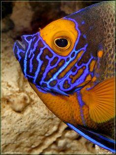 Beautifully colored fish by Underwater Creatures, Underwater Life, Ocean Creatures, Colorful Fish, Tropical Fish, Poisson Mandarin, Regard Animal, Beautiful Sea Creatures, Life Under The Sea