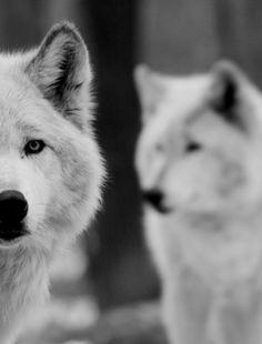 All white animals are spirit teachers ja