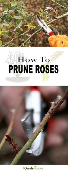 How to Prune Roses • Great tips, tutorial and diagrams! #rosegardening