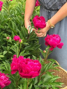 Tips for growing peonies including where to purchase peony plants, where to plant peonies, growth habit, and care of peonies in your garden.
