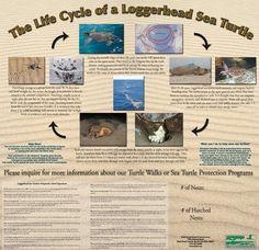 Life Cycle of a Loggerhead Sea Turtle