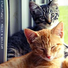 KiTTaHz in the WiNDoW! #CatsOfTwitter #kittens  <3 @ETsKiTTaHz