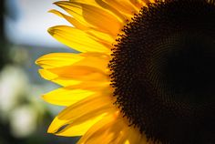 Sunflower Backlit by Shannon Kunkle on 500px