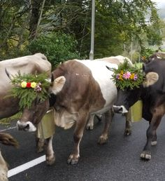 Swiss cows Glarus CH 2012