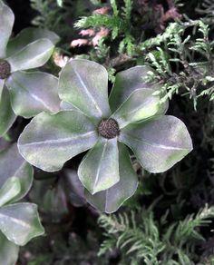 Rhizomnium punctatum- MĚŘÍK TEČKOVANÝ ! Roste na vlhkých stanovištích v lesích, na mrtvém dřevu.