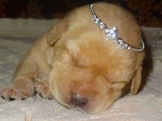 Look at this little #princess  http://melanysguydlines.com  #humor #blogger #funny #animals #dogs
