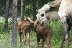 piebald moose cow with her twins... the recessive coloring is protective and helps them blend in