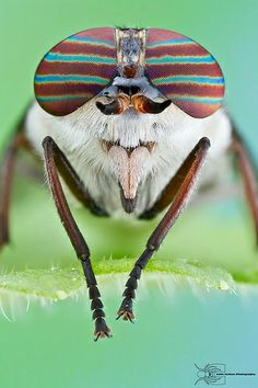 ˚Horse Fly - Hybomitra sp.  http://tiendacostarica.cr