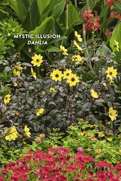 Proven Winners - Mystic Illusion - Dahlia hybrid yellow plant details, information and resources. Yellow Plants, Yellow Flowers, Colorful Flowers, Different Plants, Types Of Plants, Growing Dahlias, Proven Winners, Gardening Magazines, Black Garden