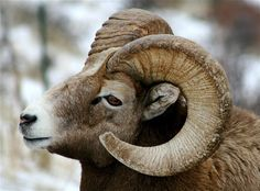 Weather Underground provides local & long range Weather Forecast, weather reports, maps & tropical weather conditions for locations worldwide. Big Horn Sheep, Sheep Art, Weather Underground, Rocky Mountain National Park, Wild West, Rocky Mountains, Horns, Hunting, Dahl