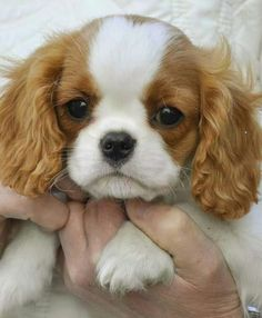 Cavalier puppies are the cutest!