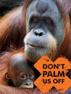 The single greatest threat facing orangutans today is the rapidly expanding palm oil trade. Rainforests are being cleared at a rate of 300 football fields per hour and palm oil companies often use uncontrolled burning to clear the land, resulting in 1,000s of orangutans being burned to death. Those that survive have nowhere to live and nothing left to eat. If something isn't done soon to stop the spread of oil palm plantations into the forests, orangutans will be extinct within 10-20 years.