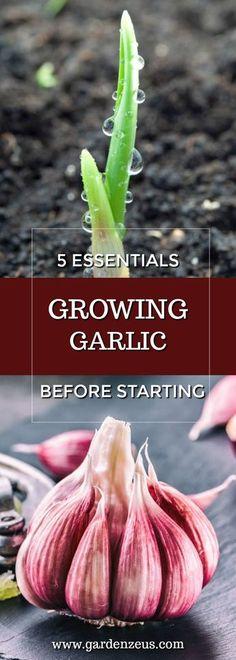 5 Essentials Before Growing Garlic