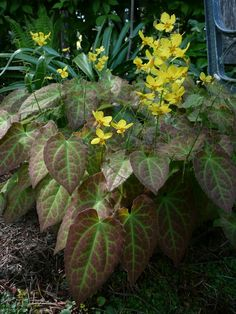 Epimedium...An under-used groundcover that deserves a lot more attention...blooms in spring in shades of red, orange, yellow, pink, purple, or white; it tolerates dry shade; and it's usually deer/rabbit resistant. Some varieties are evergreen in mild-winter areas; others offer good fall color.