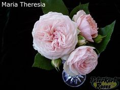 Maria Theresia - Peterkort Roses Blush Flowers, Wedding Flowers, Lace Wedding, Pink Garden, Garden Roses, September Flowers, Fiesta Colors, Blue Dahlia, Relaxed Wedding