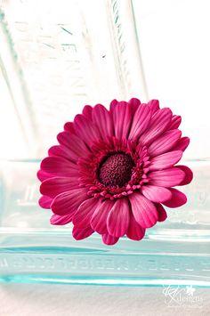 Gerbera daisy hair flower in pinks/purples.