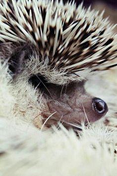 Hedgehog close up profile