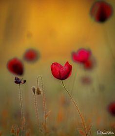 Gelincikler... - Poppy Flower.. Gelincikler Ailesi..
