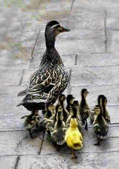 ducks going for a stroll...