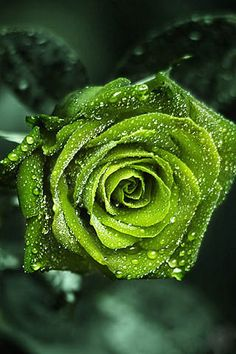 Green rose symbolizes life, abundant growth, constant renewal of life, the constant rejuvenation of spirit, therefore a messenger of cheerfulness. Transformation and change are a necessary prerequisite for life to go on. Express this spirit of rejuvenation, well being. Being symbolic of all life force, the green gives a rich meaning to a rose. The freshness of the springtime, the abundance of the rainy season, all is well expressed by the green rose. ~A~