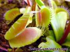 La Dionée (Dionaea muscipula): la plus célèbre plante carnivore                                                                                                                                                                                 Plus