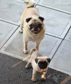Our new pug puppy 'Boo' and Bailey Puggins