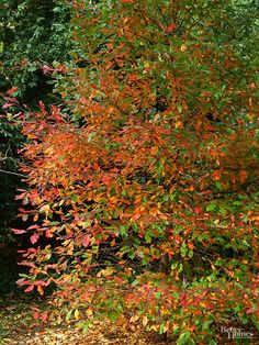 Count on superb red fall color, plus shades of yellow, orange, and purple, when you plant a tupelo. Other common names: Black gum, sour gum, black tupelo, pepperidge Botanical name: Nyssa sylvatica Size: 30-50 feet tall, 20-30 feet wide Zones: 4-9 Why grow it: Dark green leaves turn bright scarlet in fall; fall fruits attract migrating songbirds.