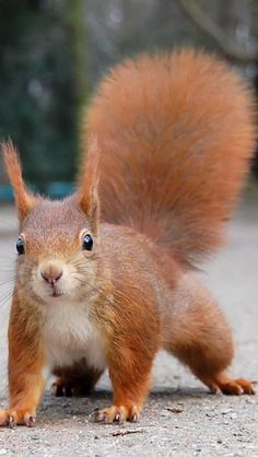 Red-Squirrel - saw a few like this one a couple of weeks ago at Petit Trianon, Versailles, France. At Marie Antoinette's garden on a lovely fall day the children chased them endlessly. What a nice memory.