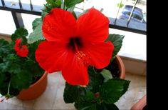 Ιβίσκος, ένα ακόμη φάρμακο της φύσης από το μπαλκόνι σου, στο ποτήρι σου!!! Holistic Medicine, Natural Healing, Herbalism, Remedies, Nature, Flowers, Plants, Health, Gardening
