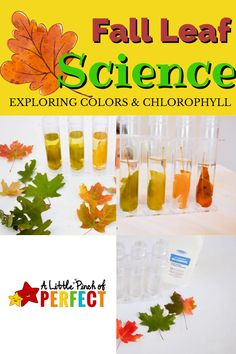 After exploring and Learning About the Parts of Leaves we decided to learn about leaf color and chlorophyll with an easy science experiment. I found the idea to extract chlorophyll from leaves on Home Science Tools. I thought that it sounded simple enough we could give it a try with a few modifications. I am so glad we did because the results are beautiful and it helped my kids see and better understand the role chlorophyll plays with changing leaf colors. Science Tools, Easy Science Experiments, Science Ideas, Physical Science, Science Lessons, Earth Science, Science And Nature, Preschool At Home, Leaf Coloring