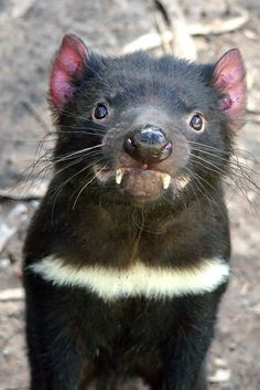Tasmanian devil (Sarcophilus Harrisii) In a word - vicious Interesting Animals, Unusual Animals, Rare Animals, Animals And Pets, Funny Animals, Beautiful Creatures, Animals Beautiful, Pretty Animals, Nocturnal Animals