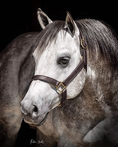 Cool Little Sugar Speedy stud stallion quarterhorse aqha gray reiner