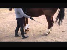 Tutorial: How To Teach A Horse Piaffe - Lovable Friends