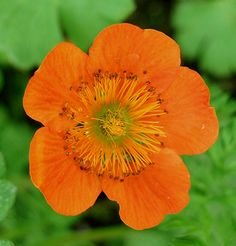 """Geum coccineum 'Cooky'. tag on my geum says """"cooky"""" but i think it's mismarked."""