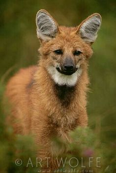 Maned Wolf, Wolf Stuff, Landscaping Images, Wild Dogs, Colour Images, My Animal, Animal Photography, Animals Beautiful, South America