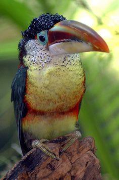 Curl-Crested Aracari (Pteroglossus beauharbaesii) by ucumari, via Flickr