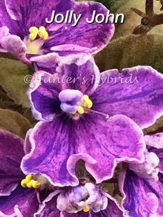 Indoor Benches - A Single Is Ideal For Creating A Cozy Den House African Violet Leaves 2 Jolly John Sm One Of The Best Strains You'll Find Bonsai, Saintpaulia, Sweet Violets, African Violet, Houseplants, Indoor Plants, Outdoor Gardens, Leaves, Good Things