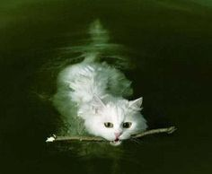 Cat swimming.  Fetching a stick?