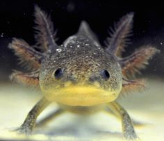 Axolotl - one day I shall own some :)