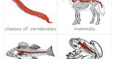 Classes of Vertebrates Introduction Cards.pdf