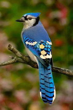 Birds ©: Blue Jay [{by rosecplima'in; All Birds, Little Birds, Love Birds, Pretty Birds, Beautiful Birds, Animals Beautiful, Exotic Birds, Colorful Birds, Blue Jay Bird