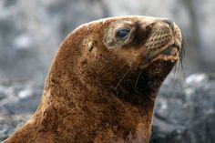 Sea lion Beagle Channel. Ushuaia. Argentina | Lion de mer. Canal de Beagle. Ushuaia. Argentine | Lobo marino del Canal Beagle. Ushuaia. Argentina