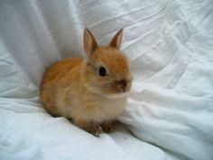 Cómo es tener un conejo enano como mascota