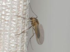 mosquiro