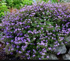 Geranium 'Bill Wallis' Habit; by anniesannuals, via Flickr