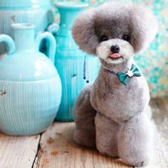Poodle Modified Teddy cut - this looks like a stuffed toy! Perros French Poodle, French Poodles, Cute Puppies, Cute Dogs, Dogs And Puppies, Doggies, Poodle Puppies, Poodle Grooming, Pet Grooming