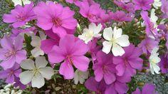 Flor do manacá rosa e branco