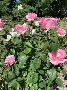 Queen Elizabeth Roses on Salem, Oregon botanical garden Salem Oregon, Queen Elizabeth Rose, Rose Care, Botanical Gardens, New England, Diys, Landscaping, Roses, Gardening